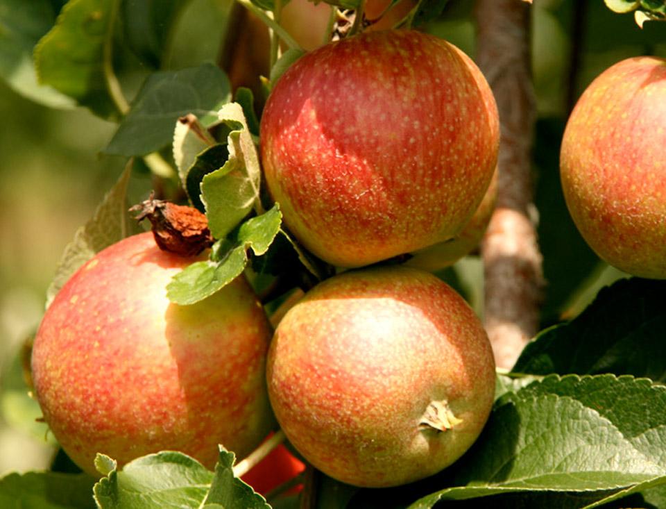 Appels, peren en wisselend ander vers fruit - Broodcompany